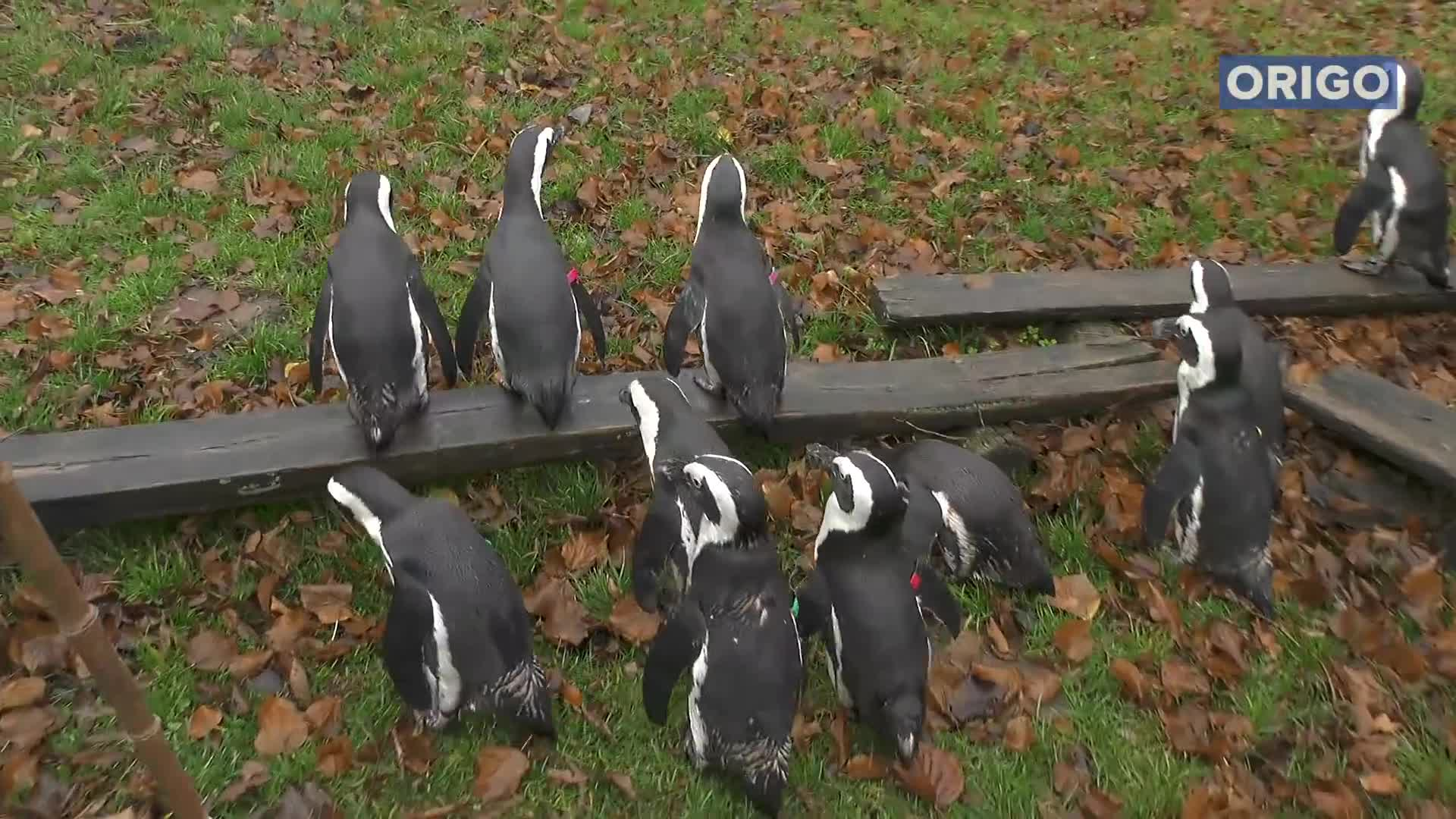 Pets & Animals, penguins, penguins jumping GIFs