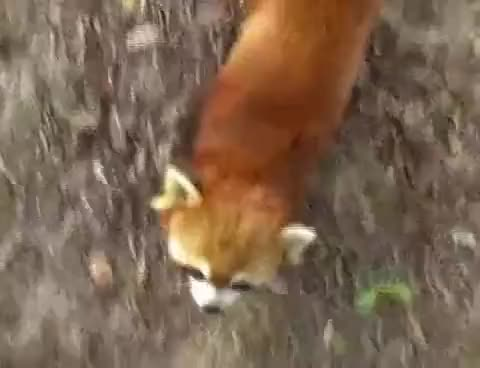 Watch this red panda GIF on Gfycat. Discover more animals, panda, red GIFs on Gfycat