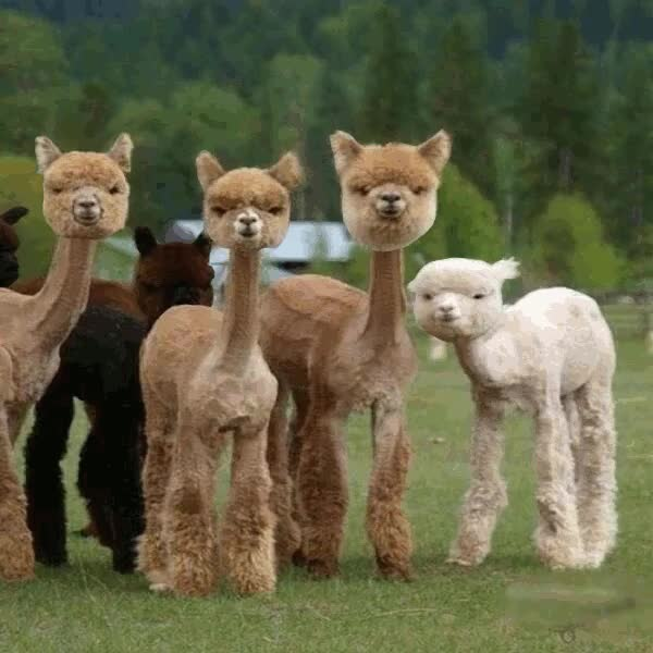 PsBattle: Group of Shaved Llamas : photoshopbattles GIFs