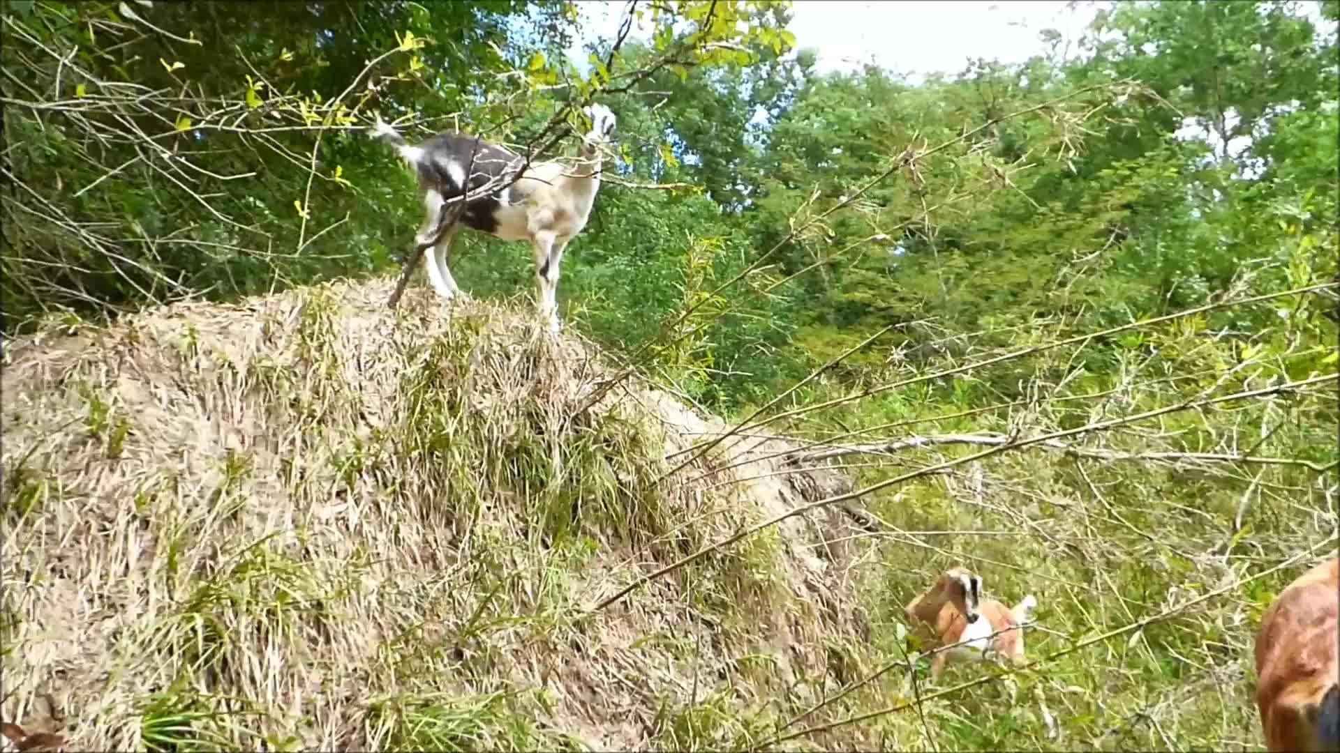 Goatparkour, knsfarm, parkour, popular, Quick Escape GIFs