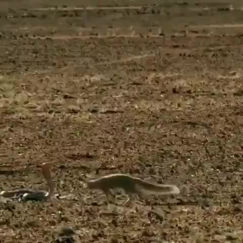 Watch Mongoose dodging a cobra's strike GIF by tothetenthpower (@tothetenthpower) on Gfycat. Discover more related GIFs on Gfycat