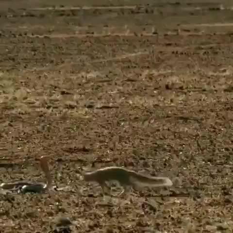 Mongoose dodging a cobra's strike GIFs