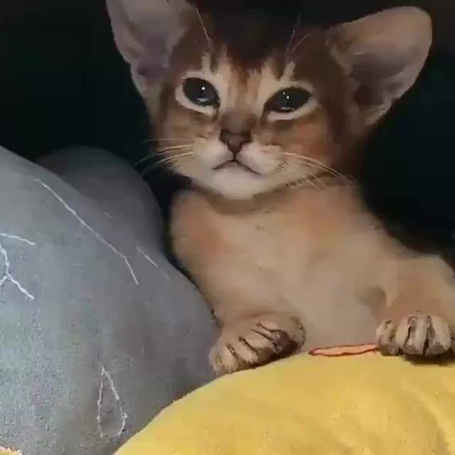 Watch and share Big Eared Kitten Falls Asleep GIFs by Boojibs on Gfycat