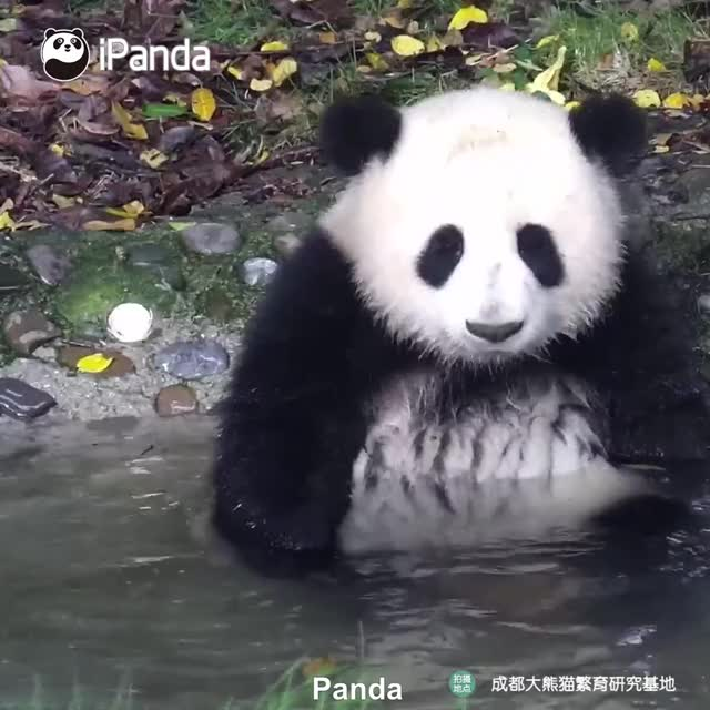 Watch and share Panda GIFs by gabrielarm_ on Gfycat