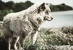 Watch and share Sled Dogs GIFs and Animals GIFs on Gfycat