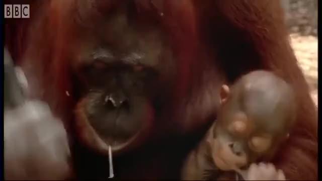 Watch diy orangutan GIF on Gfycat. Discover more Animal, Attenborough, BBC, Free, Mammals, Nature, Video, Wild, Wildlife GIFs on Gfycat