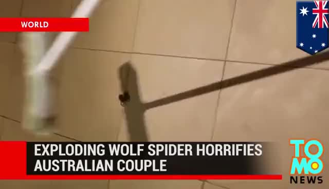 Watch Spider explodes and hundreds of babies spread across Australian man's floor GIF on Gfycat. Discover more related GIFs on Gfycat