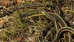 garter snake animals gif