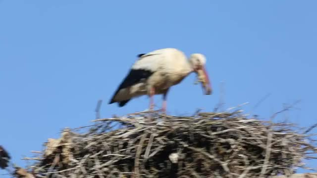 Watch and share White Stork Swallows Its Own Chick GIFs by Pardusco on Gfycat