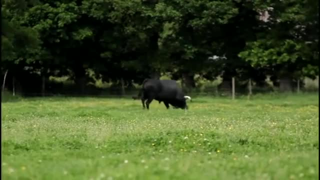Watch and share Black Bull GIFs and Car Tire GIFs on Gfycat