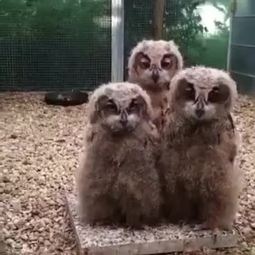 Watch and share Three Baby Owls GIFs on Gfycat
