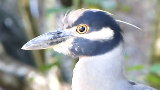 Watch Yaboa Común (Nyctanassa violacea) - Yellow-crowned Night Heron GIF by @likkaon on Gfycat. Discover more Yaboa Común, Yellow-crowned Night Heron GIFs on Gfycat