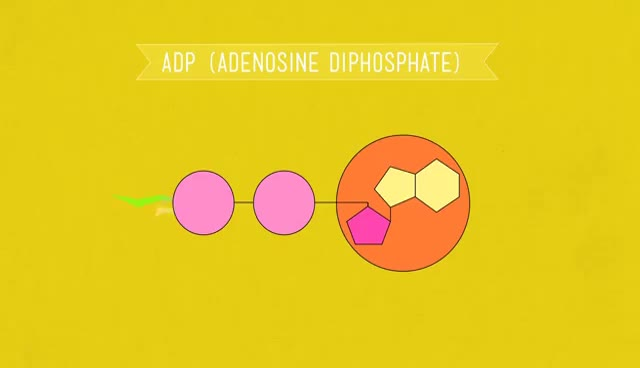 Watch and share ATP & Respiration: Crash Course Biology #7 GIFs on Gfycat