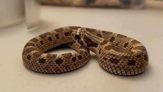 Watch and share Hognose GIFs and Sneks GIFs by snekseryday on Gfycat