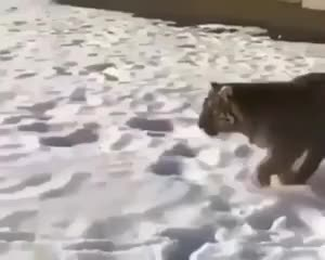 Watch this animals GIF by @mitalina2 on Gfycat. Discover more animals, dog, tiger GIFs on Gfycat