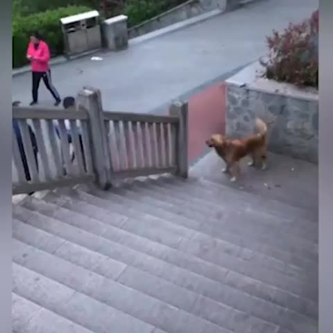 Nature Animals Travel, Talented golden retriever walks up the stairs on hind legs! GIFs