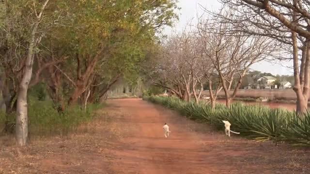 Watch leaving work GIF on Gfycat. Discover more Africa, Animal (Film Genre), Lemur (Animal), Madagascar (Country), Sifaka (Organism Classification), Travel & Events, Verreaux's Sifaka (Organism Classification), rlh95032, wildlife GIFs on Gfycat