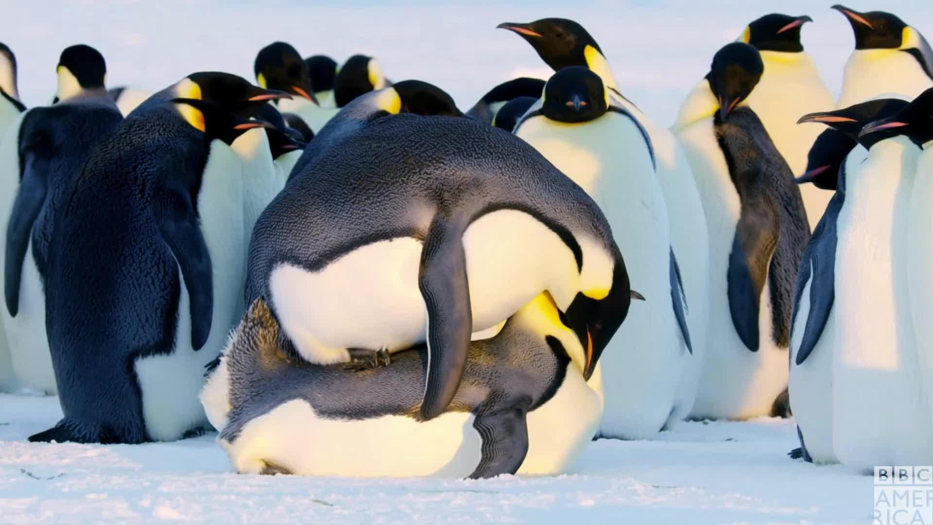 animal, animals, bbc america, bbc america dynasties, bbc america: dynasties, dynasties, emperor penguin, emperor penguins, funny, penguin, penguins, sex, Dynasties Penguin Sex GIFs