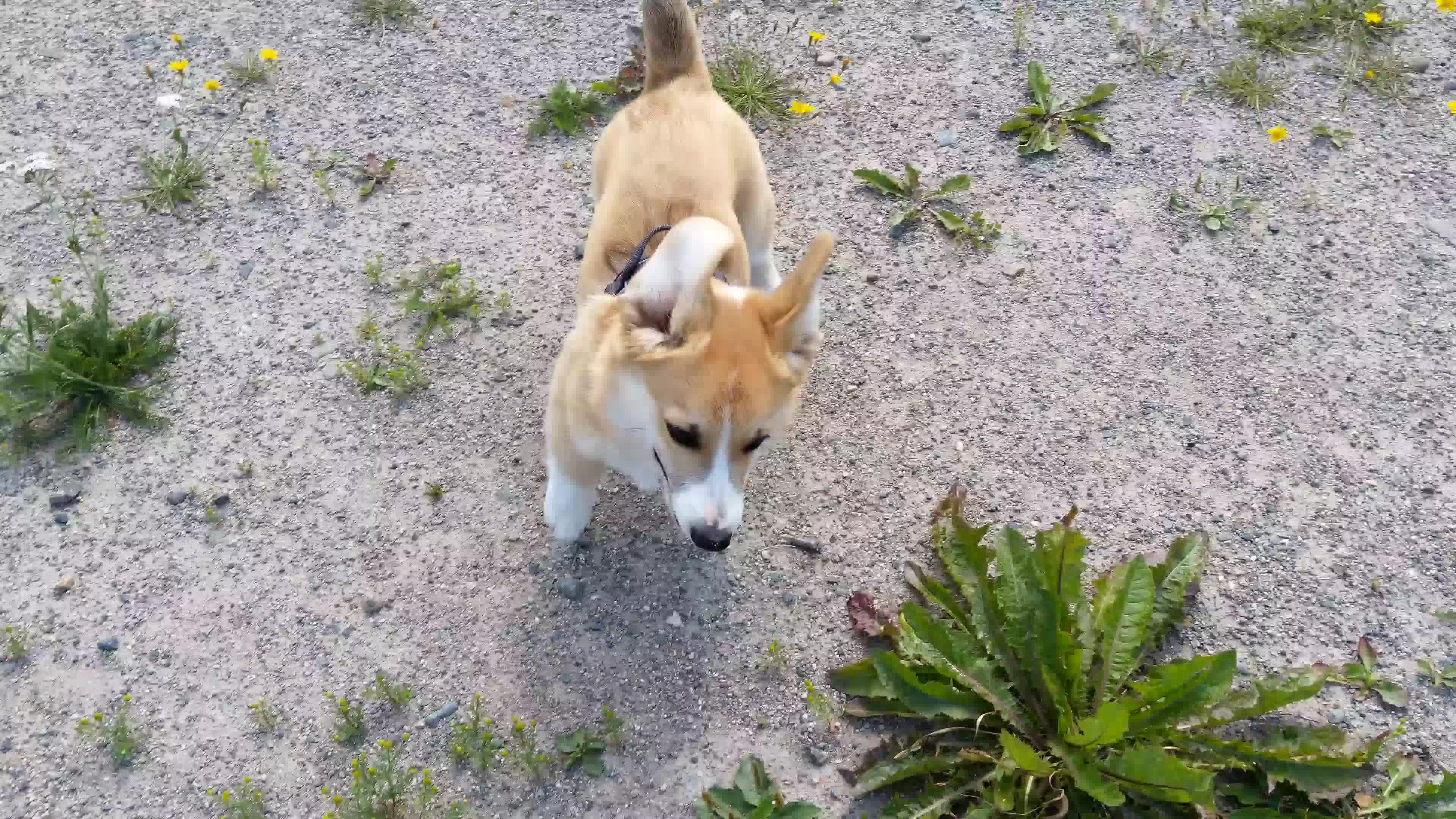 corgi, dog, tippytaps, welshcorgipembroke, VID 20180714 130901 GIFs