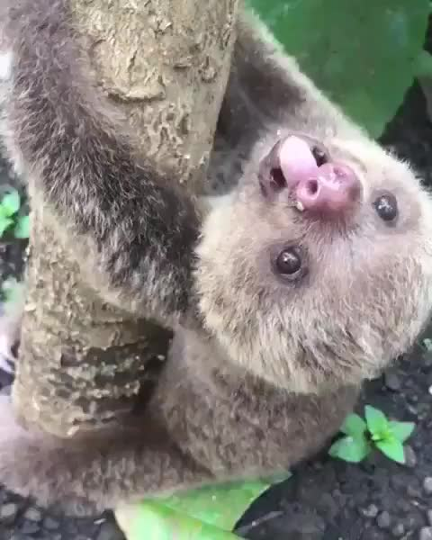 Watch and share Baby Sloth Practices Tree Climbing 😍 . Credit: @costaricarescue GIFs on Gfycat