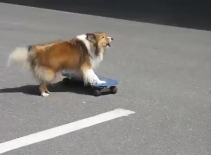 dog, skateboard, skateboarding, Twig, the Skateboarding Sheltie GIFs