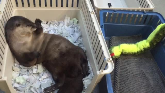 GifsofOtters, gifsofotters, Finding the right spot in his kennel GIFs