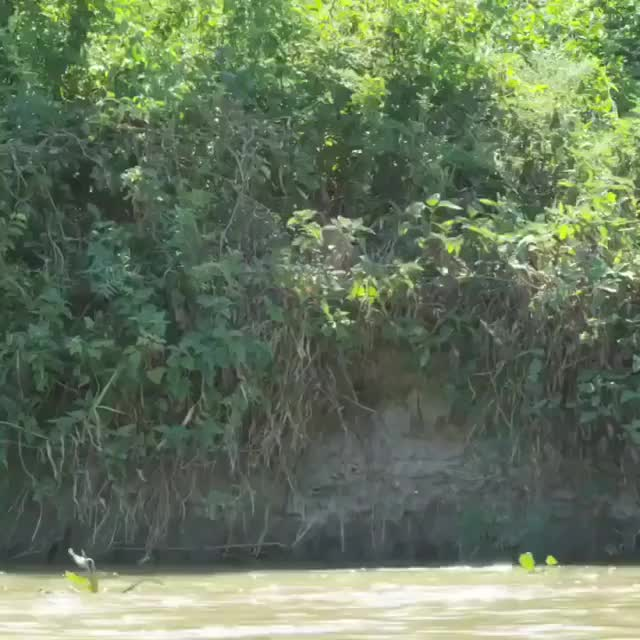 Watch and share Capybara Making A Last Minute Escape From A Jaguar GIFs by tothetenthpower on Gfycat