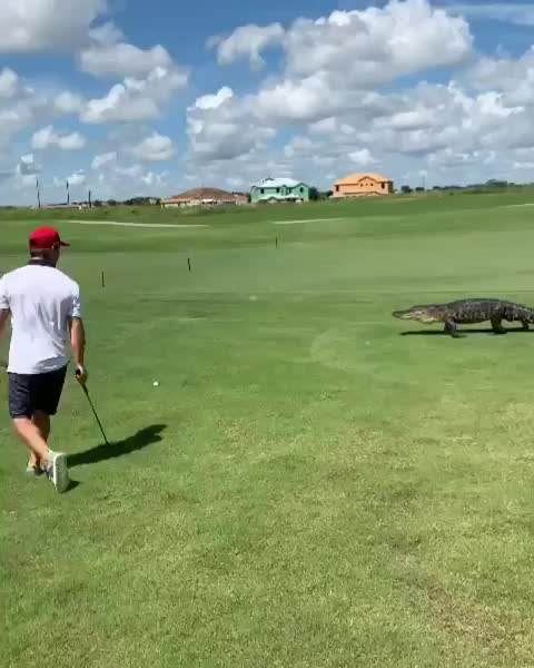 funny, golf, Playing through an alligator GIFs