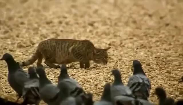 Watch and share A Feral Cat Hunts Birds GIFs on Gfycat