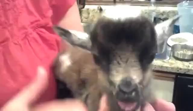 Watch Tiny baby goat sucks on its tongue! SUPER CUTE!! GIF on Gfycat. Discover more related GIFs on Gfycat