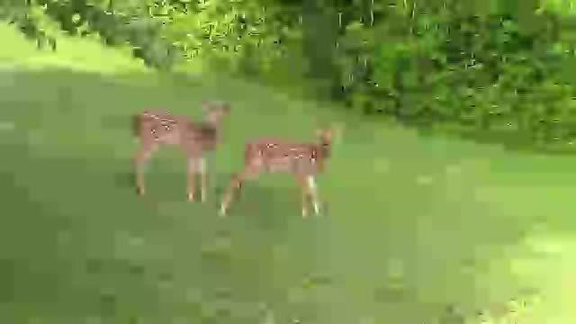 fawns, wildlifephotography,  GIFs