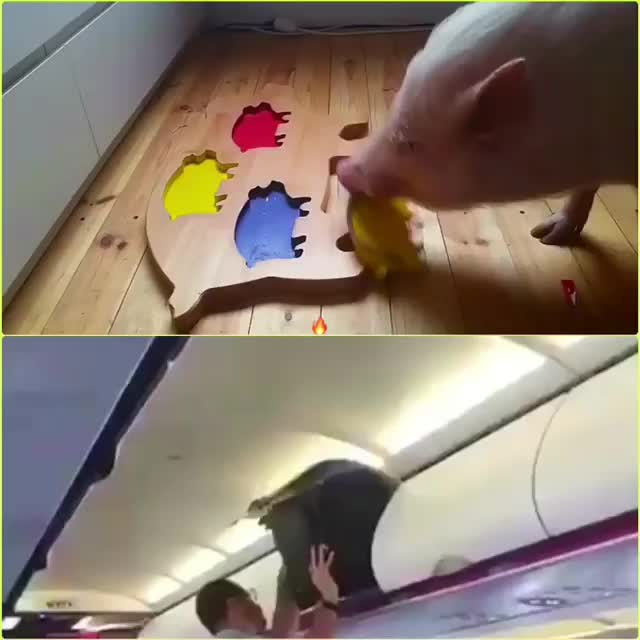 Watch and share Airplane GIFs and Pig GIFs on Gfycat