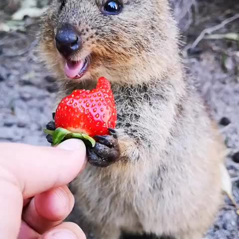 Watch and share Eating GIFs and Quokka GIFs by mayaxs on Gfycat