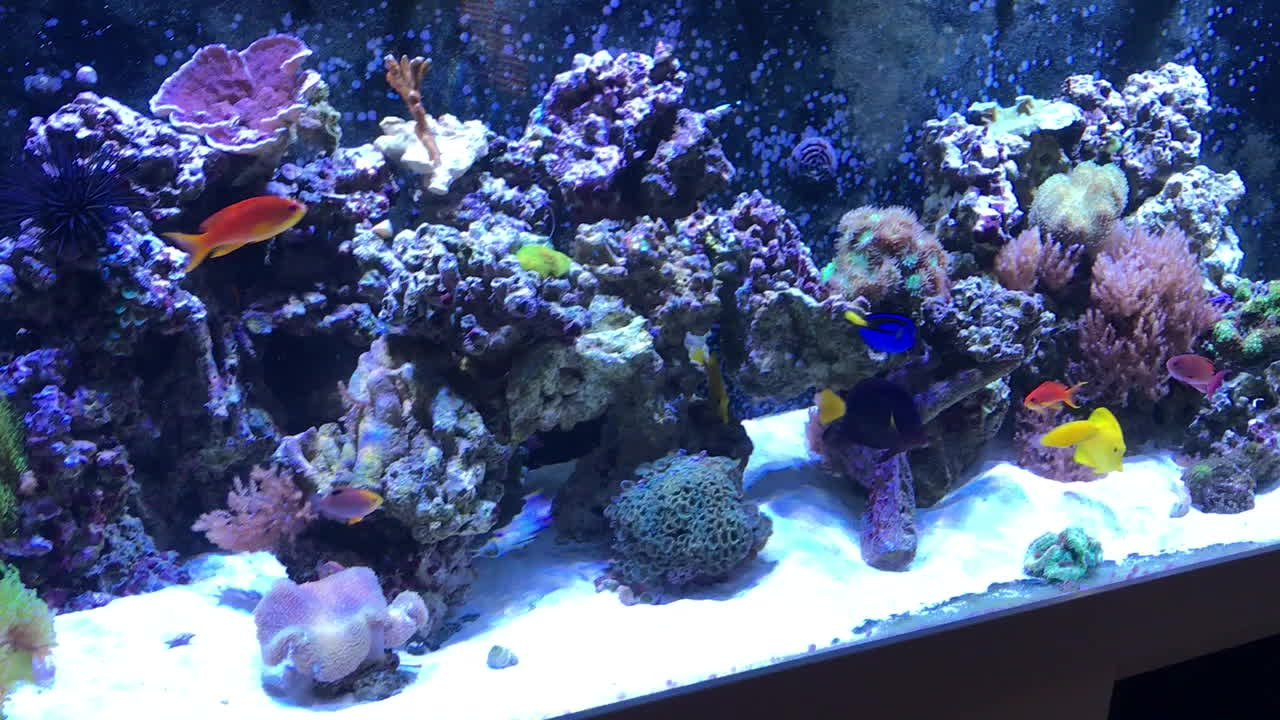 ReefTank, 175G Reef Tank with new purple tang, flame angel, kole tang. GIFs