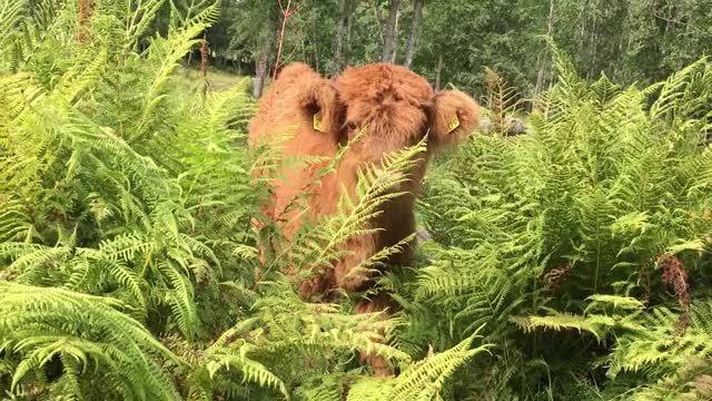Watch and share Fluffy GIFs and Calf GIFs by Highland Cattle of Saarela on Gfycat