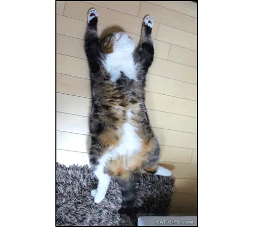 """Watch Exhausted Maru.""""I'm taking a nap, talk to my tail"""" GIF on Gfycat. Discover more cat, famous, funny, maru, naps, on the back, original content, tail GIFs on Gfycat"""