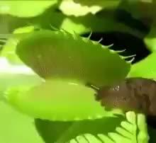 Watch and share Slug Isn't Fazed By A Venus Flytrap GIFs by tothetenthpower on Gfycat