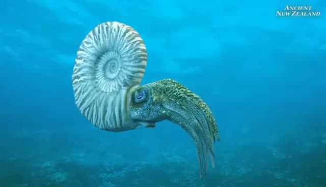Watch Mosasaur and Ammonite animation clips: Ancient New Zealand GIF on Gfycat. Discover more related GIFs on Gfycat