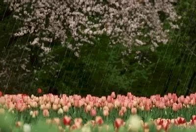 Watch and share Spring Rain And Tulips GIFs on Gfycat