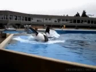 Watch and share Killer Whale GIFs and Animal Gif GIFs on Gfycat