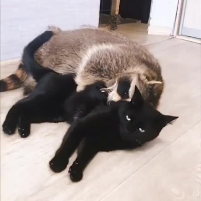 Watch and share Raccoon GIFs and Cat GIFs by gretta on Gfycat
