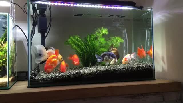 vlc record 2018 01 03 23h10m51s 60cm9 overcrowded ranchu goldfish