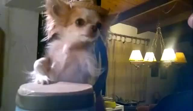 Watch and share Drums Chihuahua GIFs on Gfycat