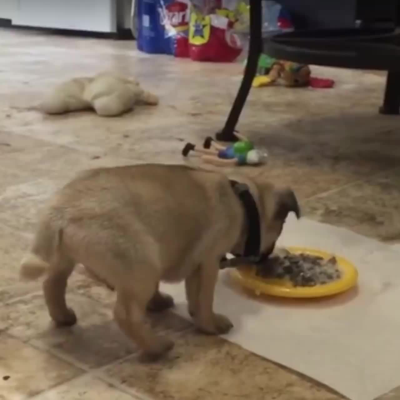 Little Pup Does Handstand While Eating GIFs