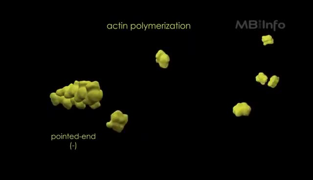 Watch and share Actin Filament Assembly GIFs on Gfycat