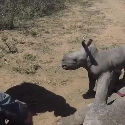 Watch Baby rhino guards mom during toe treatment GIF by Slim Jones (@slimjones123) on Gfycat. Discover more aww, funny, gifs, popular, rhino, trending GIFs on Gfycat