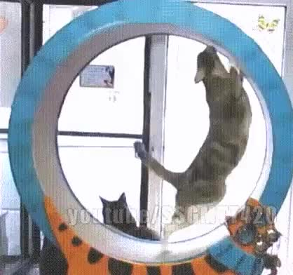 Watch Cats - squirrels in wheel GIF by Alexa (@alexa123) on Gfycat. Discover more catgifs GIFs on Gfycat