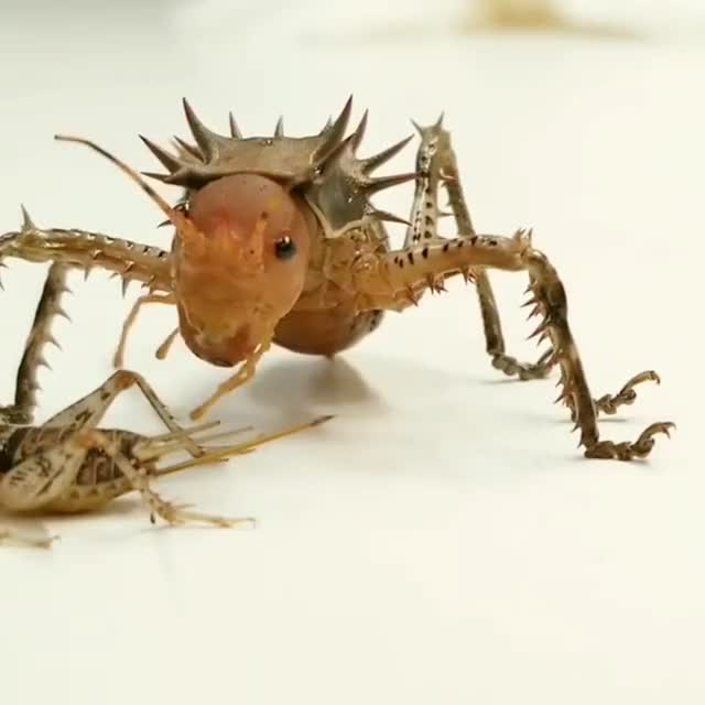 Watch and share Cosmoderus (thorny Armoured Cricket) Devours A Feeder Cricket GIFs by Pardusco on Gfycat