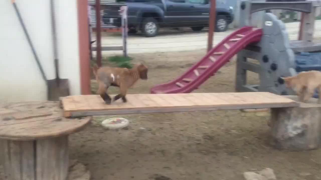 animal, animals, cute, eyebleach, goat, goat kid, goatparkour, Extreme Hops (Source: Wolfivan Ranch) GIFs