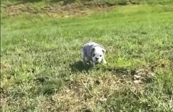 Watch and share English Bulldog Puppy Rolls Down Hill In Dang Shirt Cute animated stickers on Gfycat